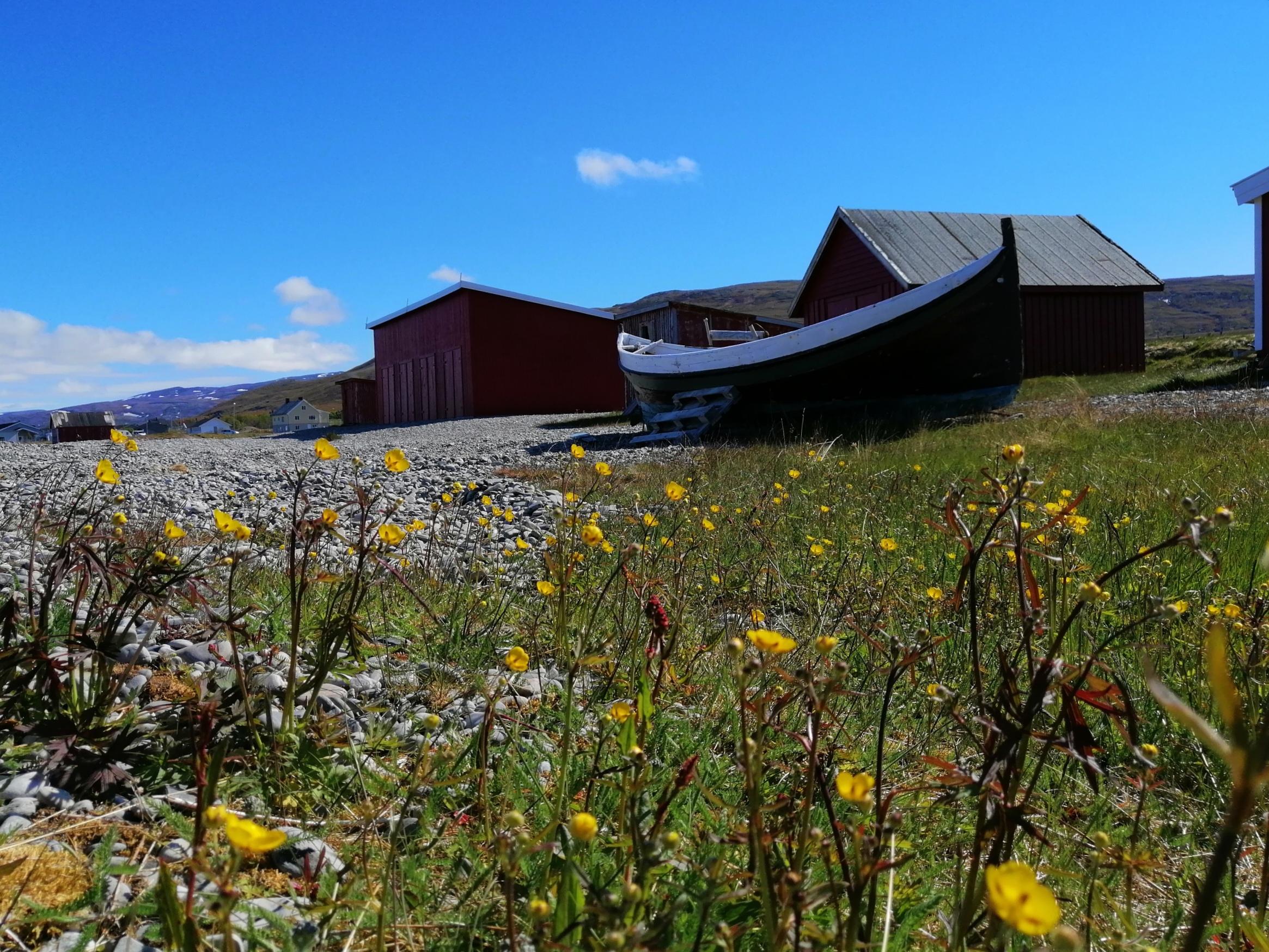 Gule smørblomster i forgrunn. Nordlandsbåt og en rekke røde naust på stranda i Kokelv i bakgrunnen. Sol og blå himmel.