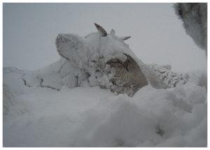 Hodet av sovende reinsdyr under snø.